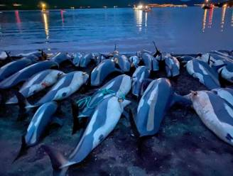 Faeröer gaan jacht op dolfijnen herzien na massaslachting
