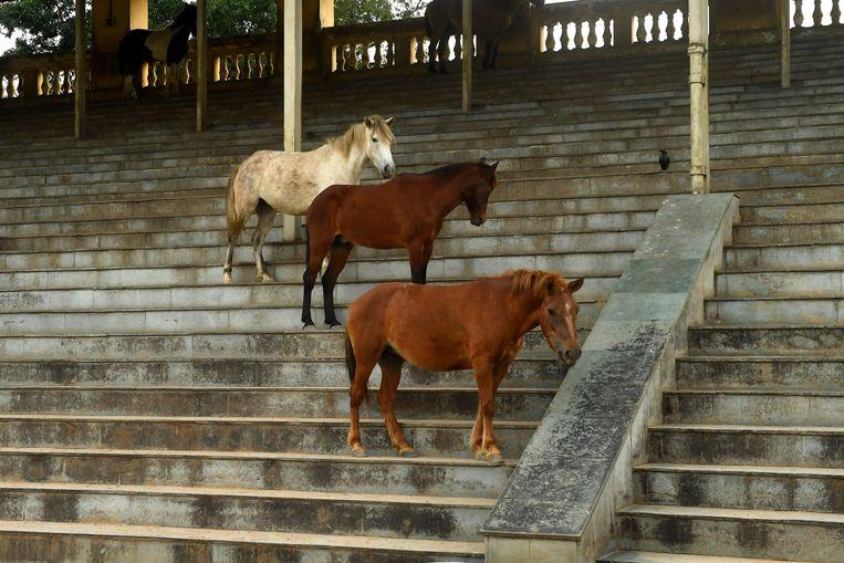 Bij de Royal Calcutta Turf Club in de Indiase stad Calcutta worden al sinds 1847 paardenraces gehouden. Daar brengt de coronacrisis geen verandering in. Maar lege tribunes, dat is ook weer zo wat. En dus moedigen de paarden die rust krijgen zelf maar hun collega's op de renbaan aan.  Beeld AFP