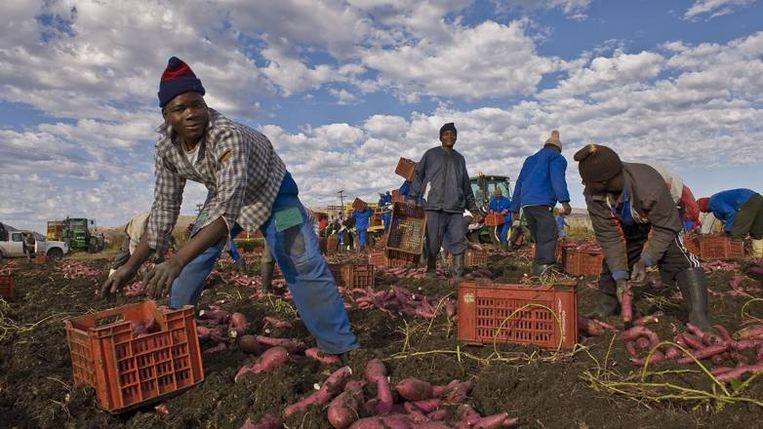 Het oogsten van zoete aardappels in Brits, nabij Pretoria. (\N) Beeld