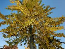 Valkenswaard: onderzoek naar stinkbomen, waar nodig maatregelen