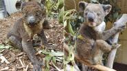 """""""Minstens 20.000 koala's omgekomen door vuurzee op het Australische Galapagos"""""""