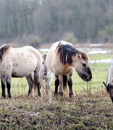 Konikpaarden en heckrunderen Oostvaardersplassen krijgen extra voer in bar winterweer