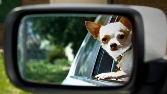 """Vrouw krijgt boete omdat chihuahua onbeschermd in wagen zit: """"Hier word ik echt kwaad van"""""""