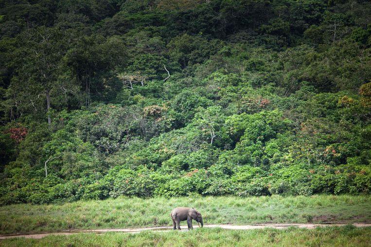 De bosolifant. Beeld AFP