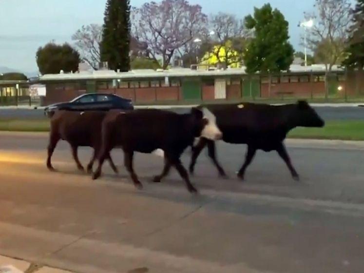Horde van 40 koeien ontsnapt uit slachthuis, twee gewonden