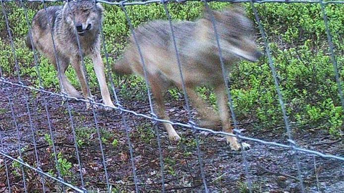 Het wolvenpaar dat eind april is gespot op de Veluwe