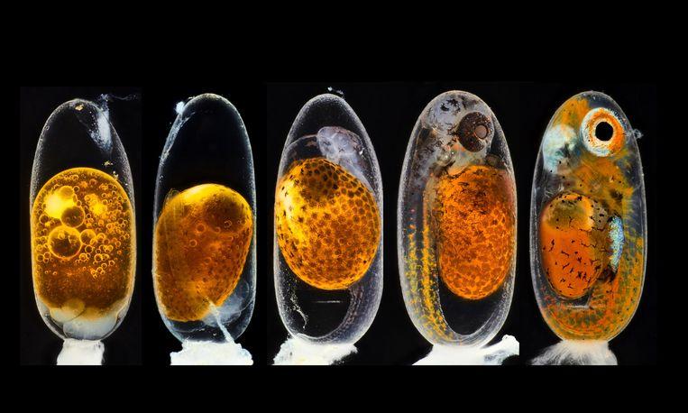 In negen dagen is het al bijna een herkenbare vis: tijdreeks van de groei van een clownvis. De opname links is enkele uren na bevruchting van het eitje gemaakt, de opname uiterst rechts negen dagen later. De geboorte van deze clownvis, een bekende verschijning in aquaria, werd in beeld gebracht door de Duitse bioloog en wetenschapsjournalist Daniel Knop. Knop won daarmee de eerste prijs in Small World, een fotocompetitie van Nikon. Beeld Daniel Knop