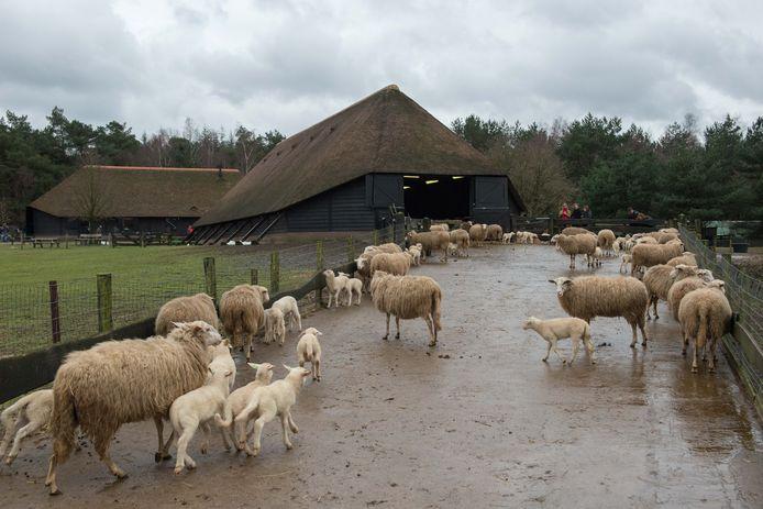 Lammetjes bij de schaapskooi  in Ermelo.