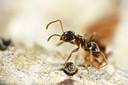 Een andere miersoort, de Lasius neglectus.