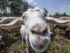 Limburg zet twee jaar lang slot op geitenhouderijen: geen nieuwbouw of aanpassing meer