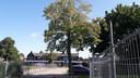 De lindeboom die geplant werd ter gelegenheid van de 50e verjaardag van koningin Beatrix