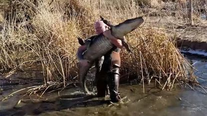 Straffe beelden: moedige mannen redden alligator uit bevroren meertje en dragen hem naar warmer water