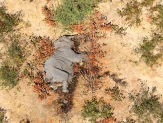 Onderzoek naar mysterieuze dood twaalf olifanten in Zimbabwe