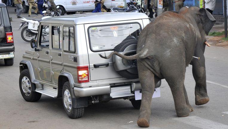 Een olifant, met een verdovingspijl in zijn zij, steekt over in Mysore, Zuid-India, juni 2011. Beeld AFP