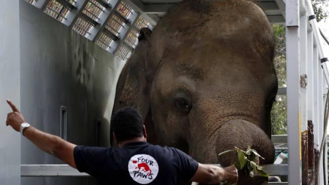 'De eenzaamste olifant ter wereld' verhuist naar Cambodja