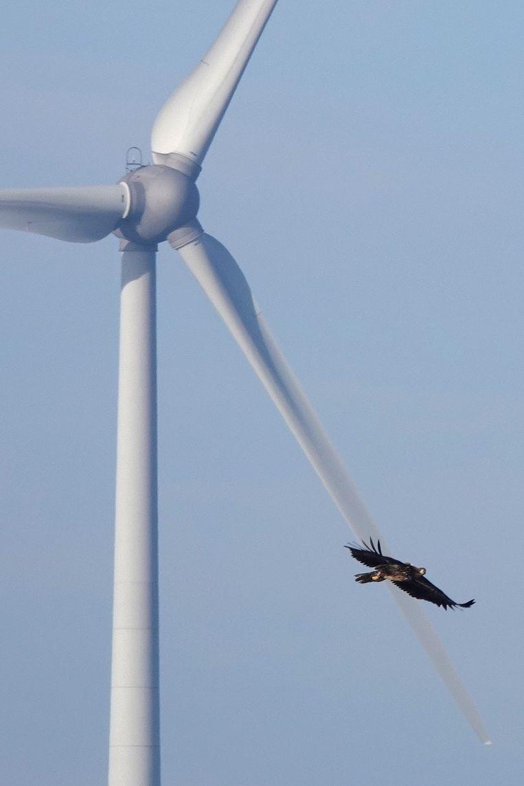 Een vogel met zender uit de Oostvaardersplassen in een windpark in Oostelijk Flevoland. Beeld Noor Bennink