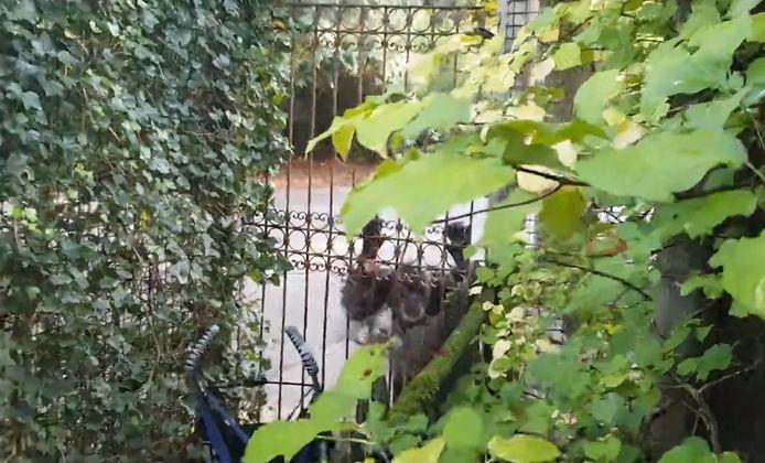 Eén van de ontsnapte chimpansees.