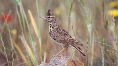 Zeldzaam vogeltje houdt naaktstrand tegen