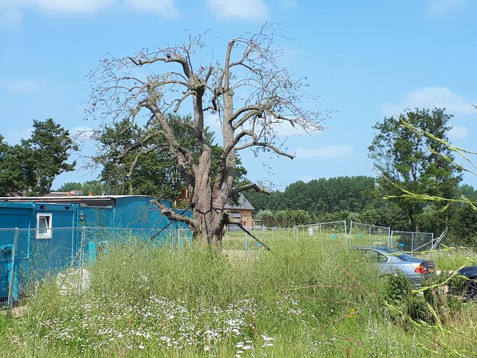 De bijna dode perenboom op de hoek van de Griftdijk en de Italiëstraat.