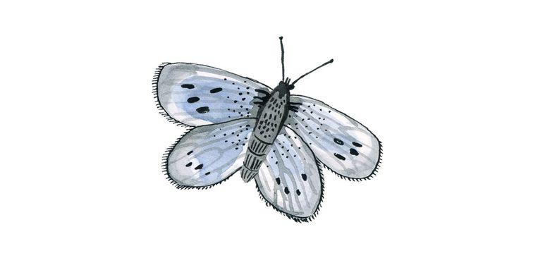 Pimpernelblauwtje Beeld Bodil Jane