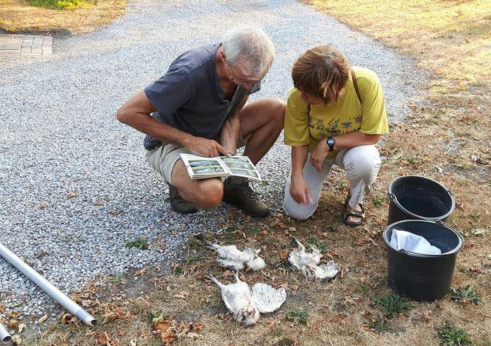 Uilenringers Gijs van der Weerden en Christien Hermsen noteren de gegevens van drie in het het nest gestorven kerkuiltjes op een boerenerf in het buitengebied van Oisterwijk.