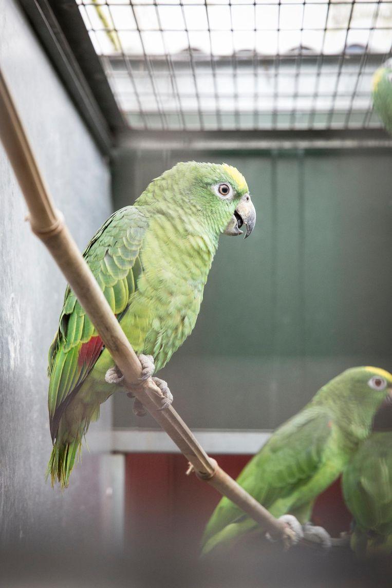 Voor vogelgriep is Jansen niet bang: 'Papegaaien kunnen geen vogelpest krijgen. Ik heb dus geen extra maatregelen hoeven treffen' Beeld Dingena Mol