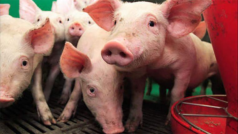 Veel varkens krijgen antibiotica toegediend die mensen opnemen wanneer ze het vlees opeten.
