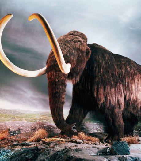Amerikaanse wetenschappers willen mammoet tot leven wekken