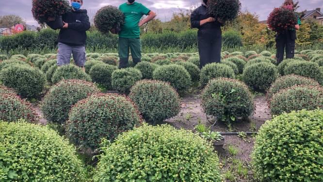 Leerlingen Tuinbouw van College ten Doorn verkopen chrysanten in aanloop naar Allerheiligen