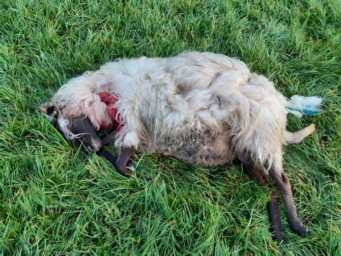 Een van de schapen die in Boekel mogelijk door een wolf werden doodgebeten.