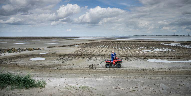 In het voorjaar van 2019 is zeekraal ingezaaid in de pas aangelegde kwelders bij Delfzijl Beeld Kees van de Veen