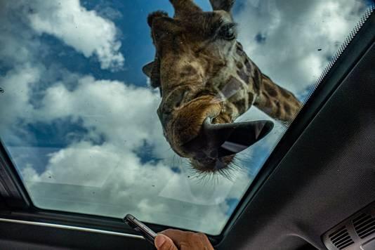 Hilarische ontmoeting met een giraffe in het safaripark Beekse Bergen in Hilvarenbeek.