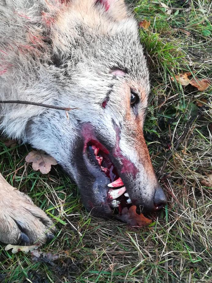 De wolf bij Klosterhaar