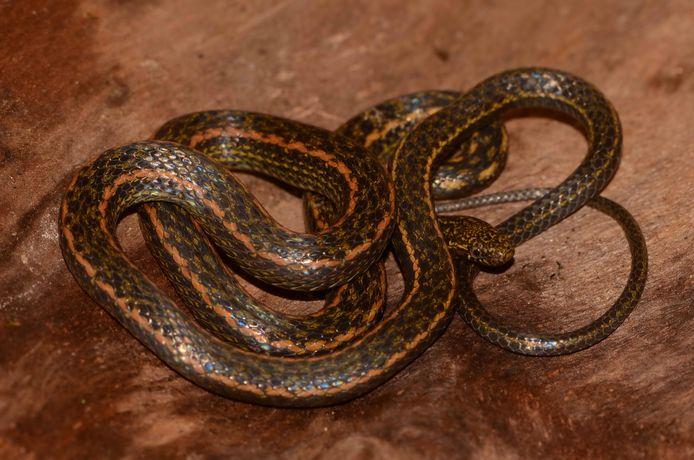 De Hebius Igneus is zo'n 60 cm lang en leeft in het noordoosten van Thailand, Noord-Vietnam en zuidelijk China. De soort is te erkennen aan een oranje vlekpatroon aan de bovenzijde, zowel bij mannetjes als vrouwtjes.