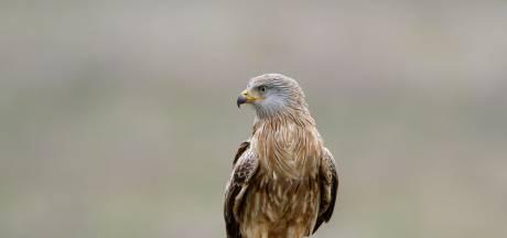 CSI op de Veluwe: is de dood van deze zeldzame roofvogel veroorzaakt door fanatieke vogelspotters?