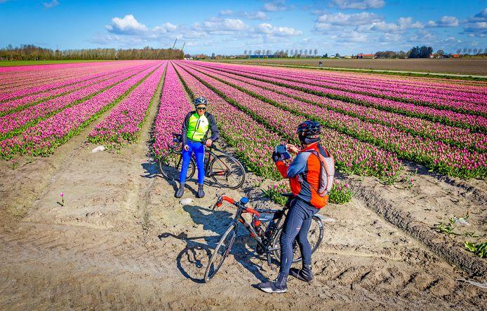 De eerste tulpenvelden op Goeree-Overflakee staan in bloei. Twee tourfietsers maken direct een foto bij dit veld langs de Zandweg in Achthuizen.