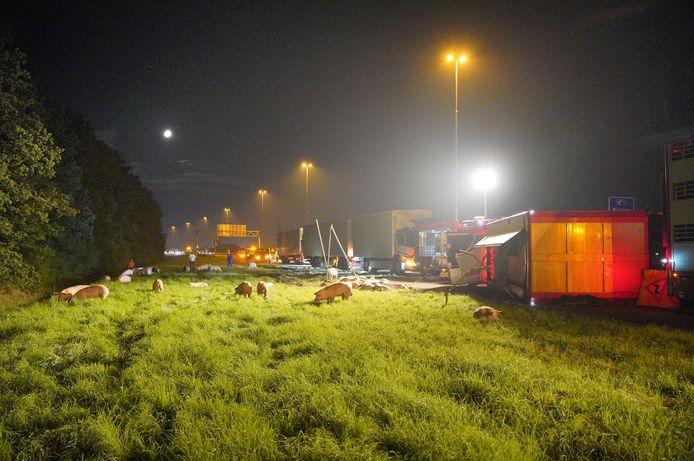 Varkens lopen in de berm van de snelweg A73 bij Nijmegen na het ongeluk met de vrachtwagen waarin zij werden vervoerd.