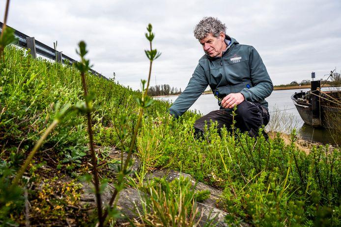 Peter de Groot toont de Lekdijk bij Bergambacht. Zijn bedrijf Biodivers heeft dit dijktalud 25 jaar geleden natuurvriendelijk ingezaaid. Nu groeit er veel meer dan alleen maar 'groen asfalt'. Foto: Frank de Roo