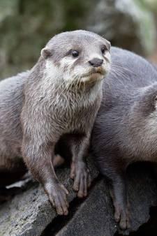 DierenPark Amersfoort verwelkomt Franse otterbroertjes