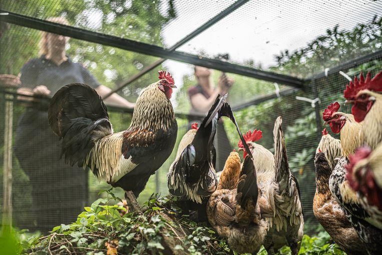 Een grote hoeveelheid kippen en hanen domineert het Julianapark in Utrecht. Op last van de gemeente worden de meeste dieren gevangen en naar een opvang gebracht.  Beeld Joris van Gennip
