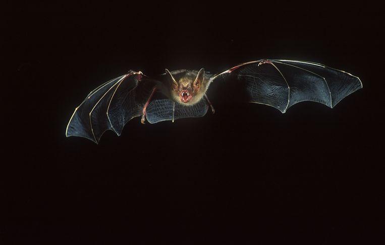 Deze zeldzame vleermuis werd gespot in Averbode.