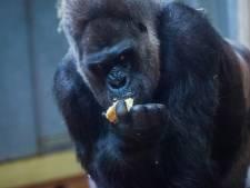 Un gorille attaque une gardienne et lui casse les deux bras