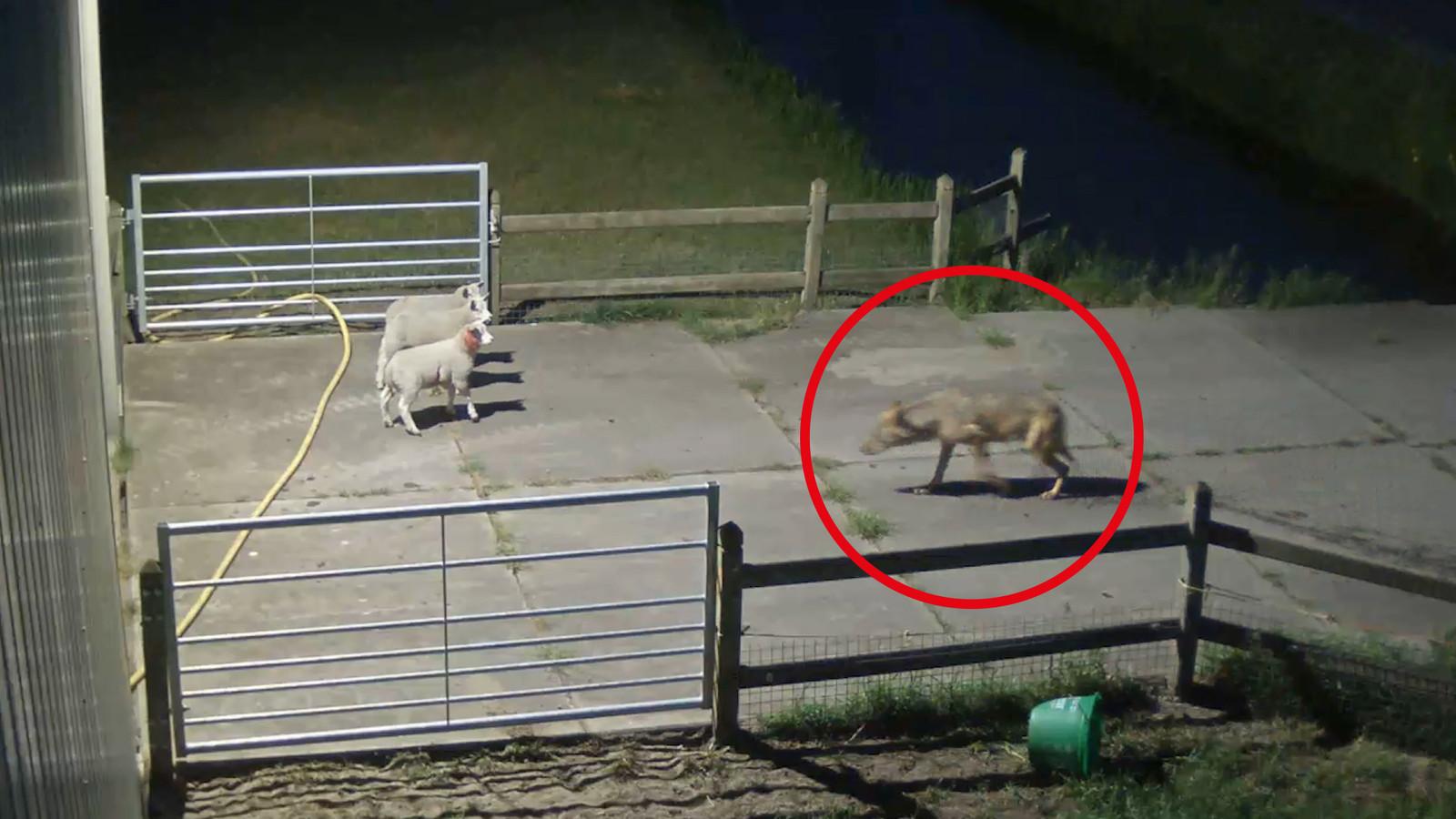 'Billy' is een van de wolven die vaak toesloegen bij schapenhouders.