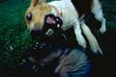 Honden gaan onwenselijk gedrag vertonen als ze niet genoeg uitdaging krijgen.