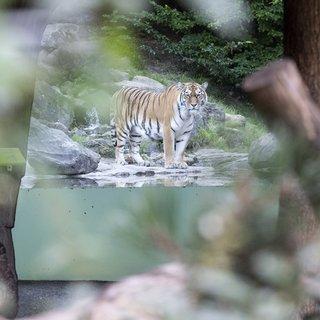 tijger-doodt-dierenverzorgster-in-zoo-van-z%C3%BCrich