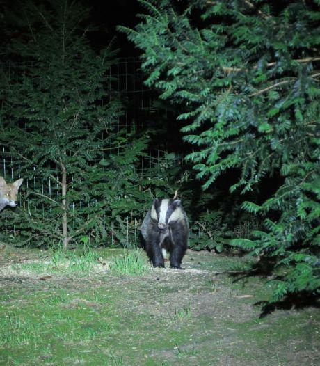 Staan er opeens een das én een vos in je tuin: 'Toen hij draaide, wist ik het'