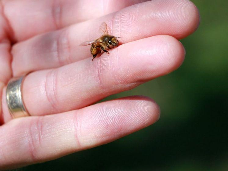 'Meer dan de helft van onze 350 soorten bijen is bedreigd'
