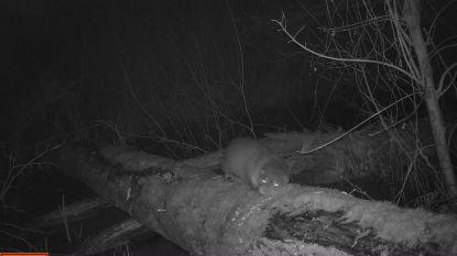 Cameraval verrast boswachter: opnieuw otter in Broek van Blaasveld