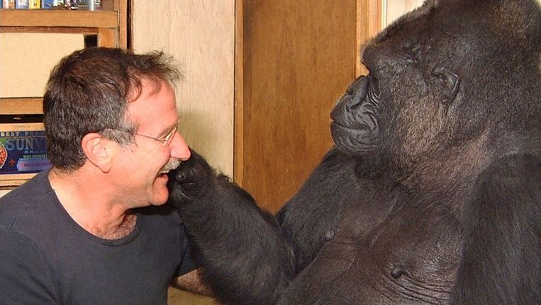 Acteur Robin Williams met gorilla Koko. Beeld UNKNOWN
