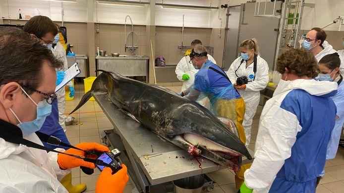 De dwergvinvis, klaar voor autopsie